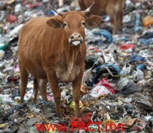 china-cattle-landfill