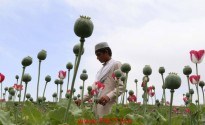 Poppy buds on the outskirts of Nangarhar